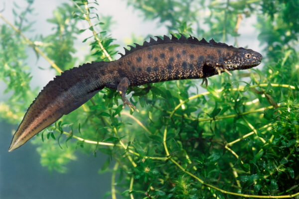 All About the Great Crested Newt