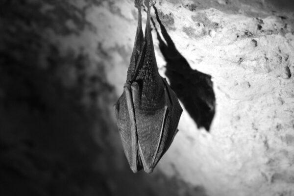 New Infrared Cameras for Greenlight Bat Surveys