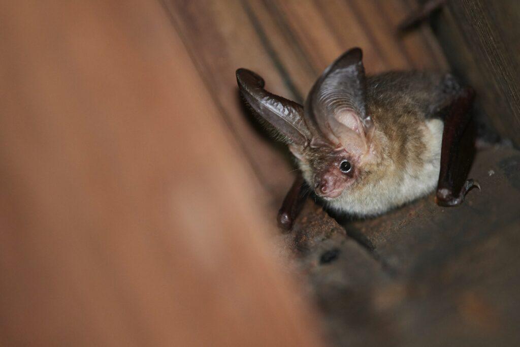 A Profile on Brown Long-Eared Bats